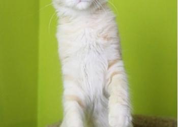 Мейн Кун котенок мальчик кремовое серебро