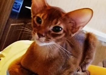 Абиссинские клубные котята