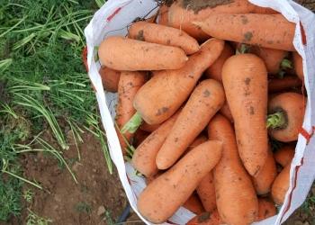 Морковь  Кордоба урожай 2018