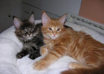 Котята породы Мейн Кун мальчики и девочки