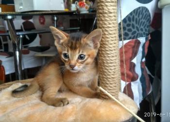 ласковые, умные абиссинские котята- всегда рядом с хозяином
