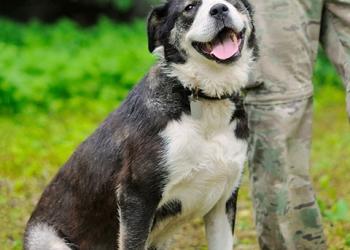 Красавица Кашири, молодая очень ласковая собачка в добрые руки