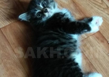 Элитные котята курильские бобтейлы