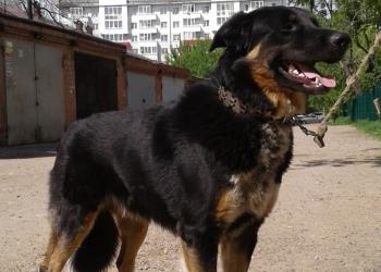 Классный пес, крупный, мощный, энергичный, охранник!