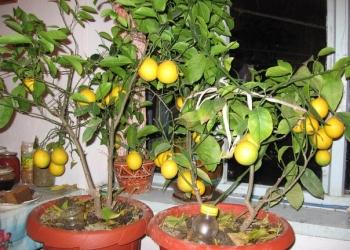 Саженцы цитрусовых и экзотических растений для дома и для сада