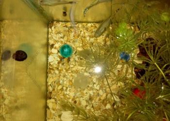 Рыбки гуппи плюс улитки