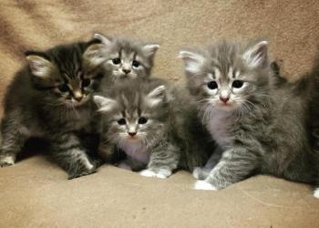 Чистокровные сибирские котята с питомника