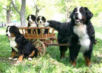 Бернский Зенненхунд щенки от питомника РКФ