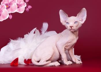 """Верная """"собака""""- кошка Эльф, бамбино, двэльф, канадский сфинкс."""