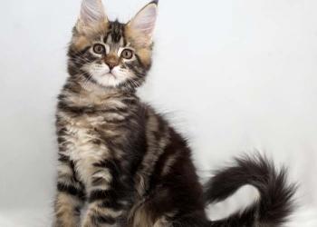 Кошечка дикого окраса из питомника
