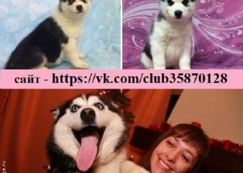 Продаю чёрно-белых щенков с голубыми глазами