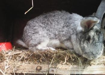 кролики от 2х мес дешево