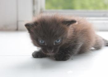 Отдам Маленького черненького котенка