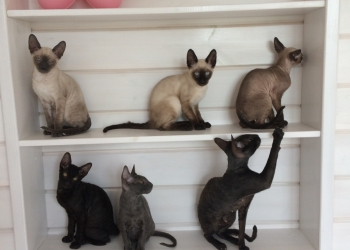 Продаётся молодой котик породы Корниш-рекс