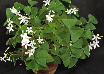 цветок кислица-очаровательный комнатный цветок