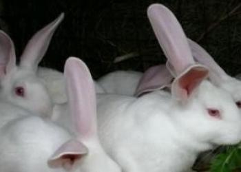 Крольчата 1 месяц. Белый великан