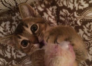 Котёнок Аббисинец