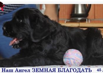 Щенки русского черного терьера