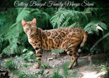 Изумительная бенгальская кошечка Амели