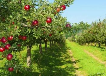 Сборщики яблок. Вахта.