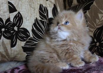 Куплю персидского котенка-девочку, классика, 1,5 мес.