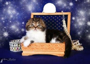 Предлагается великолепный котенок скоттиш-фолда.