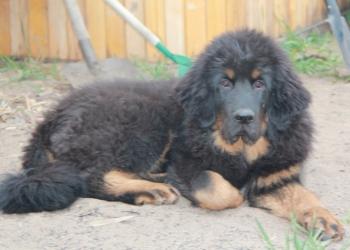 Продам подрощенных щенков тибетского мастифа