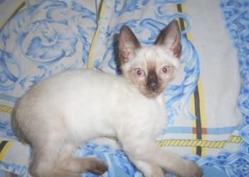 сиамские котята возраст 12 недель