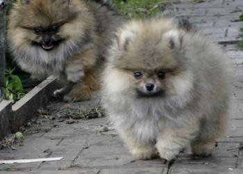 Продаются щенки немецкого  шпица (миниатюра)
