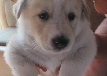 Продам щенков заподно-европейской лайки