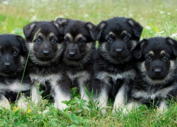 Высокопородные щенки восточноевропейской овчарки (ВЕО)