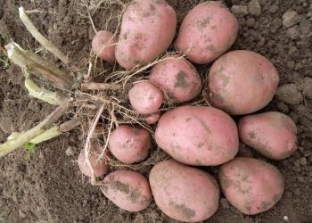 Картофель сорт Манифест 5+