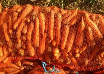 Морковь молодая