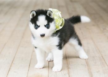 Красивееенная малышка Сибирский хаски