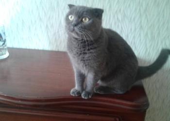 ОТДАМ кошку шотландскую
