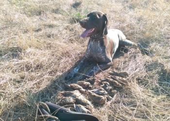 Щенки Курцхаара охотничьи собаки