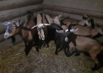 Продам коз