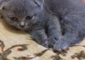 продажа котёнка