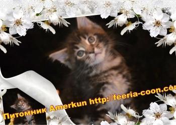 """Котята мейн кун от питомника """"Amerkun"""""""