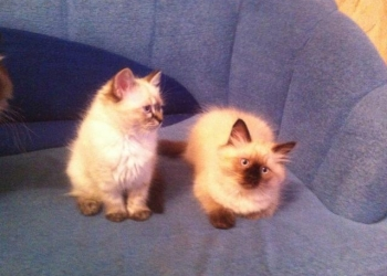 Пушистые котятки невской маскарадной породы