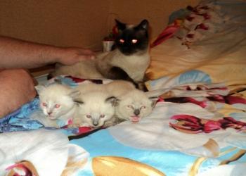 Сиамские котятки ласковые игрульки