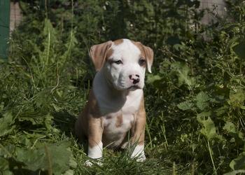 Американский стаффордширский терьер (ам.стафф) щенки.