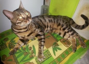 мини леопард (вязка)