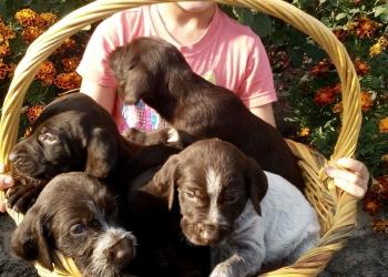 Продам щенков Дратхаара от дипломированных родителей .Родословная клеймо .