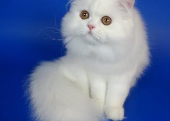 Персидский классический котенок белого окраса