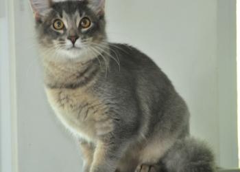 Сомалийский котенок ищет заботливых хозяев