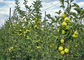 Яблоки оптом и в розницу