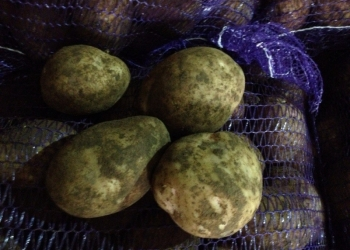 Картофель оптом (Винета,Янка,Розарра, Удача)