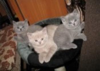 фото британского голубого котенка 3 месяца