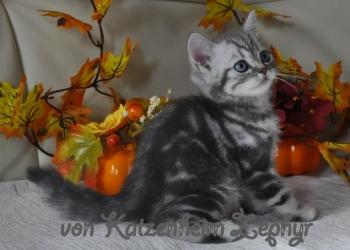 Британский котенок в драгоценной шубке!